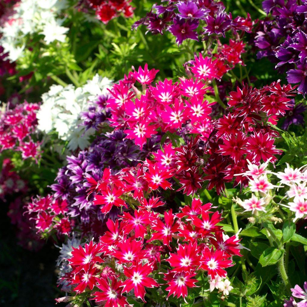 Флокс (Phlox) Многолетние цветы для вашего сада розовый цвета
