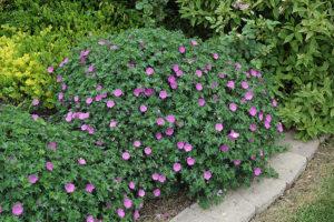 Герань кроваво-красная кровяно-красная (Geranium sanguineum) Многолетние цветы для вашего сада куст