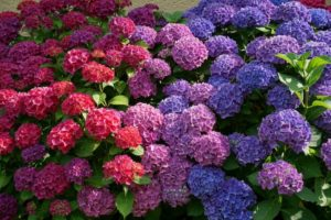 Многолетние цветы для вашего сада Гортензия (Hydrangea) сиреневая синяя красная