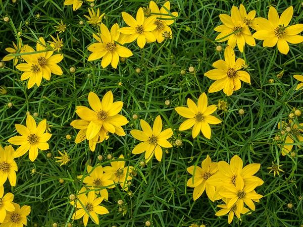 Кореопсис мутовчатый (Coreopsis verticillata) желтый Многолетние цветы для вашего сада