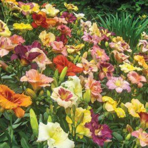 Многолетние цветы для вашего сада лилейник разноцветный