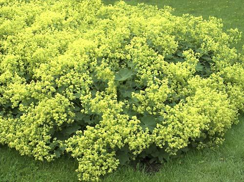Манжетка мягкая (Alchemilla Mollis) Многолетние цветы для вашего сада желтая