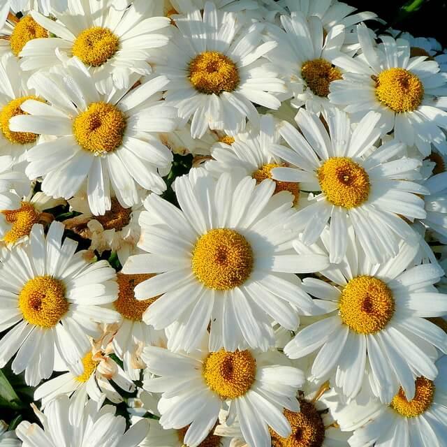 Нивяник великолепный(Leucanthemum x superbum) ромашки Многолетние цветы для вашего сада