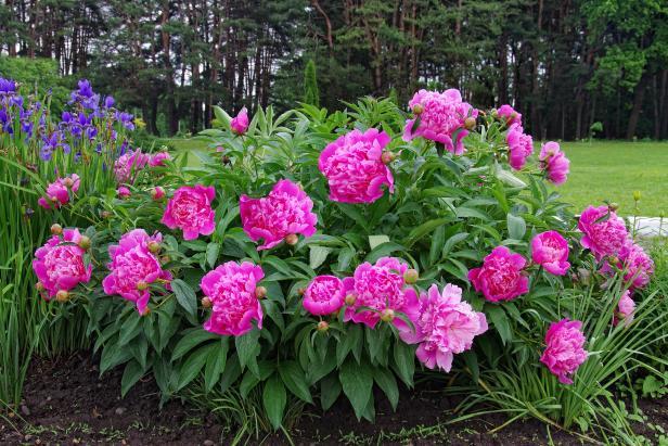 Многолетние цветы для вашего сада пион розовый