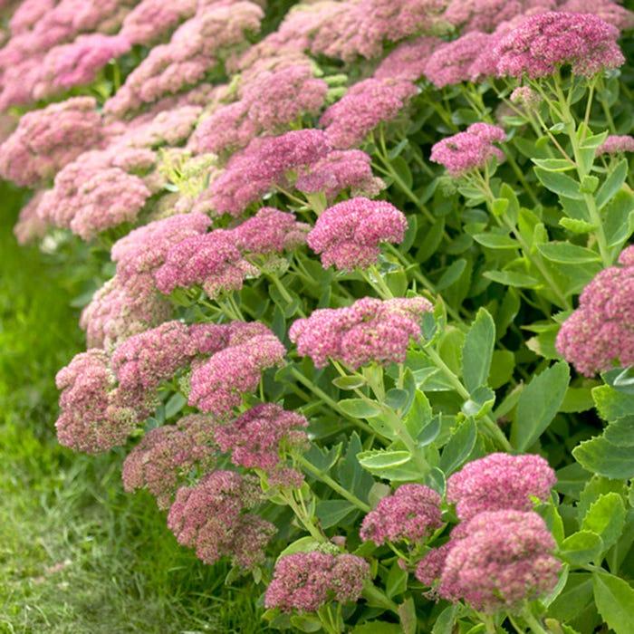 Седум или Очиток (Sedum) Многолетние цветы для вашего сада растения