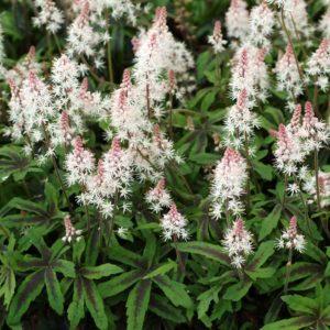 Тиарелла (Tiarella) Многолетние цветы для вашего сада белая