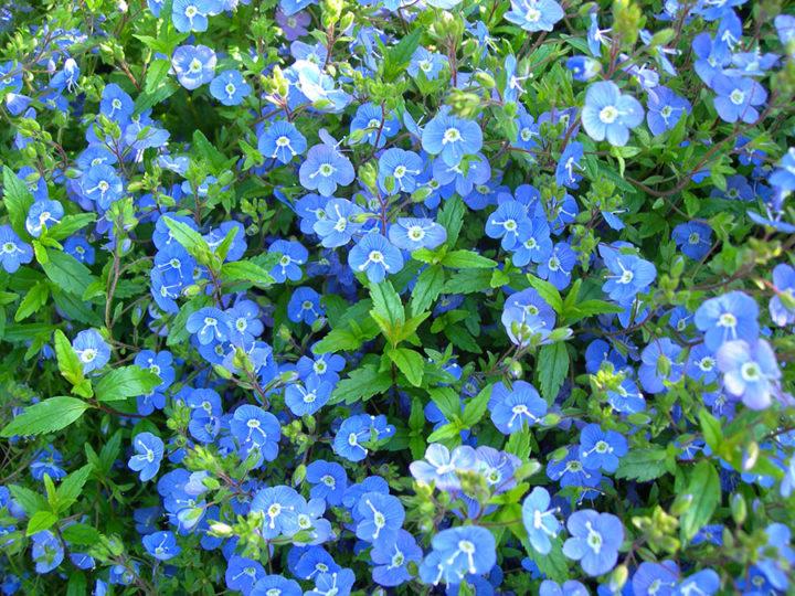 Вероникатенистая теневая (Veronicaumbrosa) растение Многолетние цветы для вашего сада