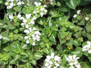 Яснотка крапчатая (Lamium maculatum)белая Многолетние цветы для вашего сада