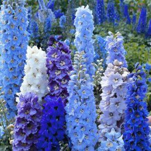 Многолетние цветы для вашего сада Живокость Дельфиниум Шпорник Delphinium синий голубой