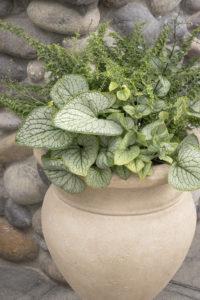 Бруннера многолетние растения контейнер многолетники