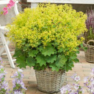 Манжетка многолетние растения контейнер многолетники