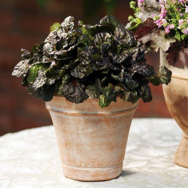 Живучка ползучая многолетние растения контейнер многолетники