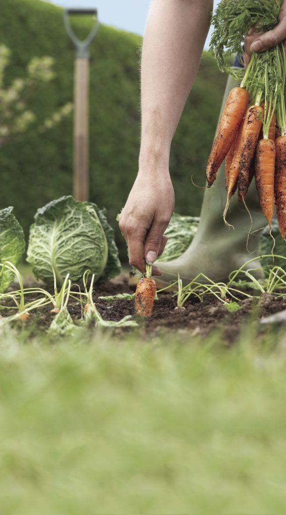 Как выращивать овощи морковь капуста