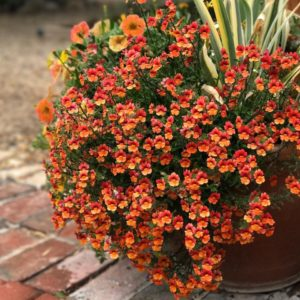 Немезия однолетние растения однолетники контейнеры