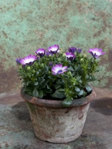 Остеоспермум однолетние растения однолетники контейнеры