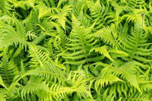 папоротник Многолетние растения растущие в полной тени
