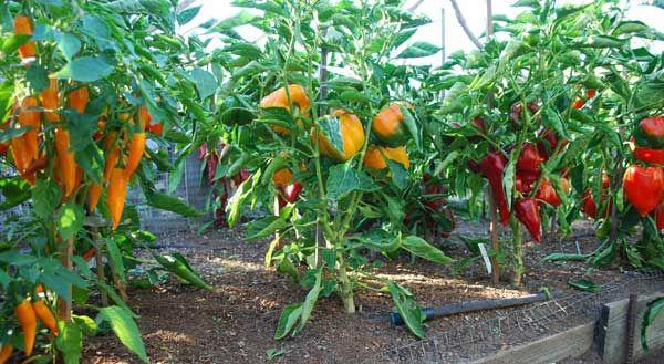Как выращивать овощи перец куст желтый красный оранжевый