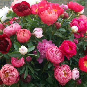 пион Многолетники средняя почва многолетние растения цветы разноцветные