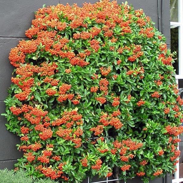 пираканта Сад ягоды Кустарники