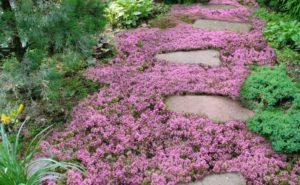 почвопокровные растения низкорослые цветущий цветы сиреневые