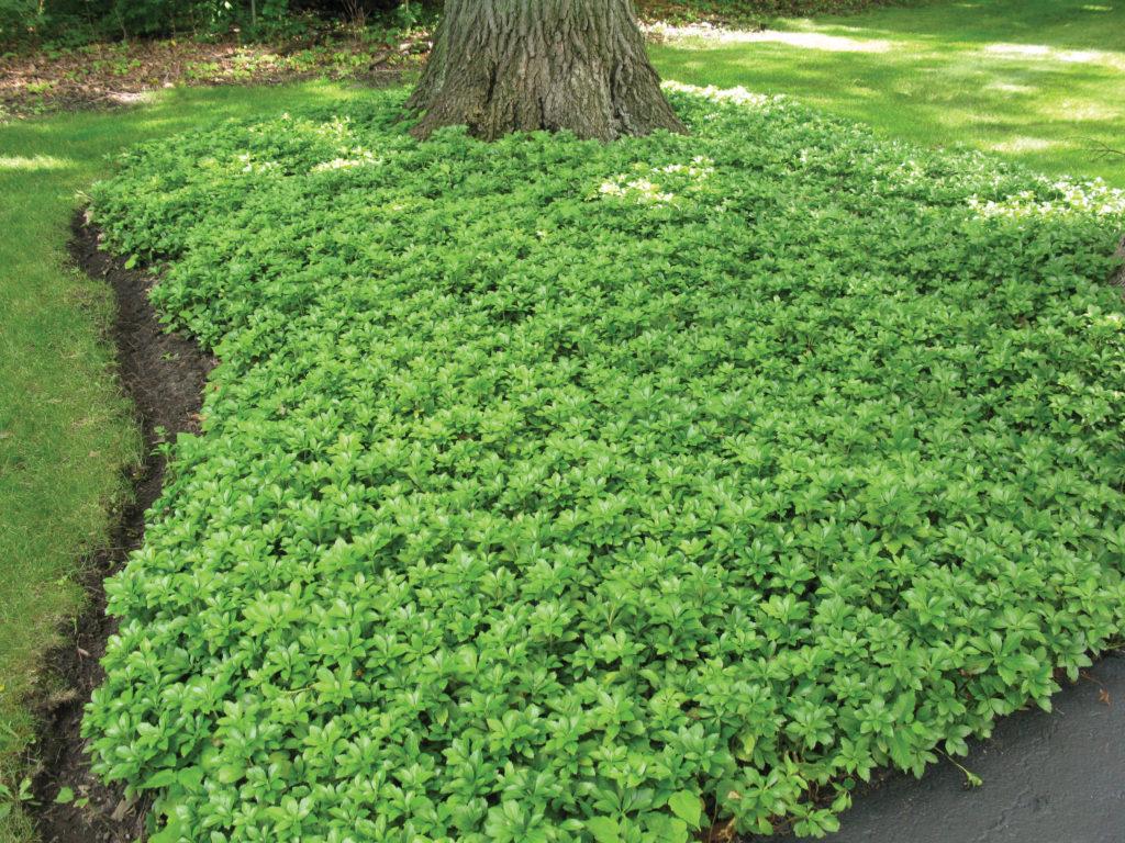 не цветущие растения почвопокровные низкорослые