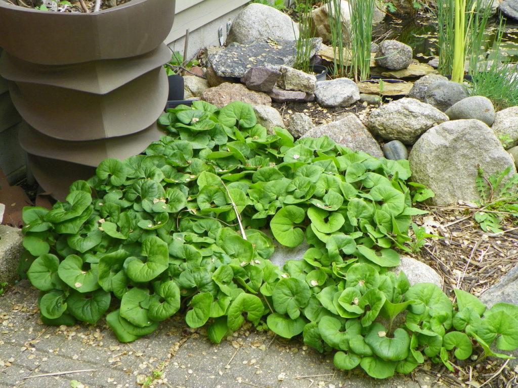 проект дизайн ландшафт сажать почвопокровные растения сад Дикий имбирь Wild Ginger Plant