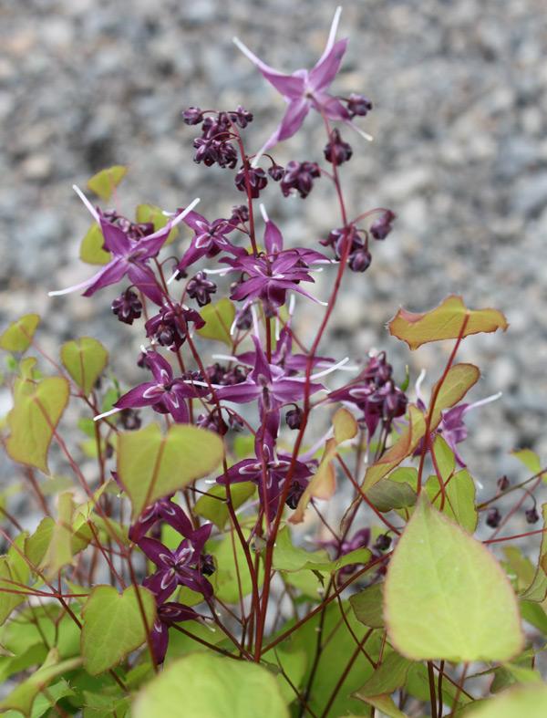 проект дизайн сажать почвопокровные растения сад Горянка или Эпимедиум