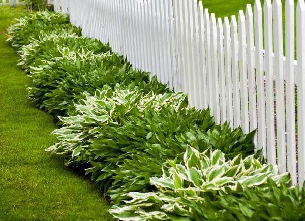 Сад Цветы хоста почвопокровные растения забор