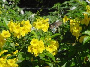 сад бабочка цветы почвопокровные низкорослые