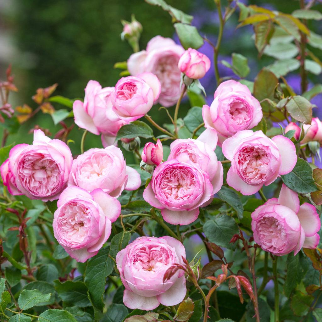 Здоровые растения в вашем саду розы цветы