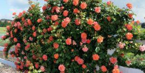 роза Сад цветущая Кустарники