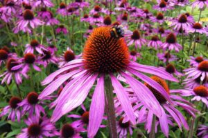 Эхинацея пурпурная Сад Цветы