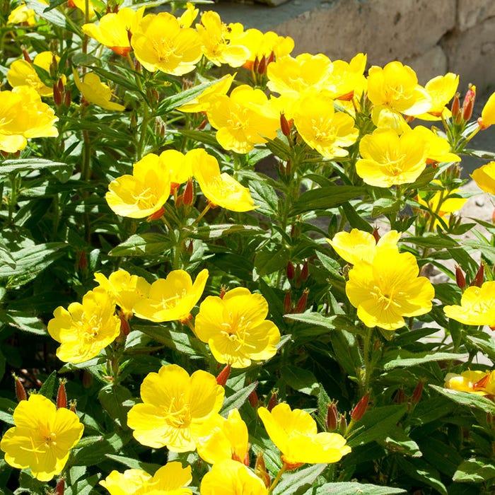 энотера вечерний первоцвет Сад Цветы