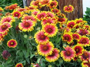 Гайлардия Гайлярдия Гайярдия Гайллардия Сад Цветы
