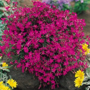 Гвоздика травянка Сад Цветы