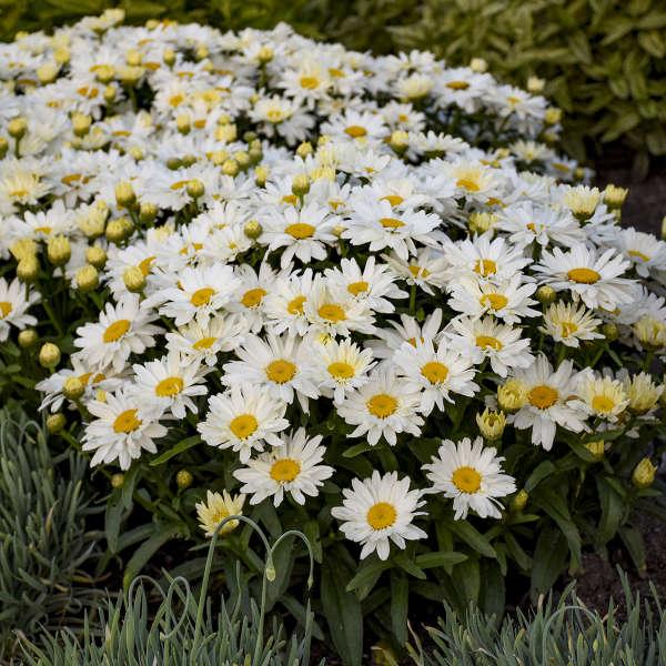 Нивяник наибольший Сад Цветы