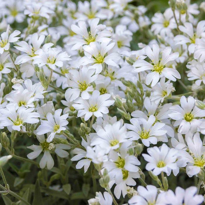 Сад Цветы Ясколка войлочная