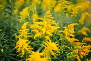 Золотарник Сад Цветы