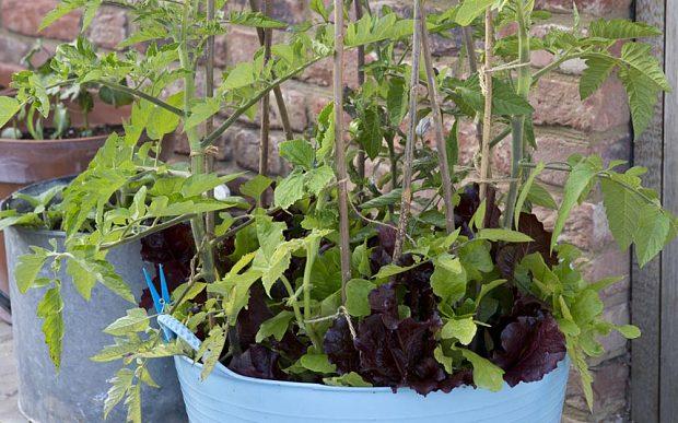 Как выращивать овощи салат помидоры томаты горшок