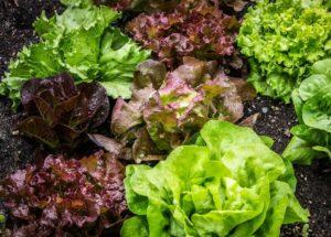 Как выращивать овощи салат листья красный зеленый грядка