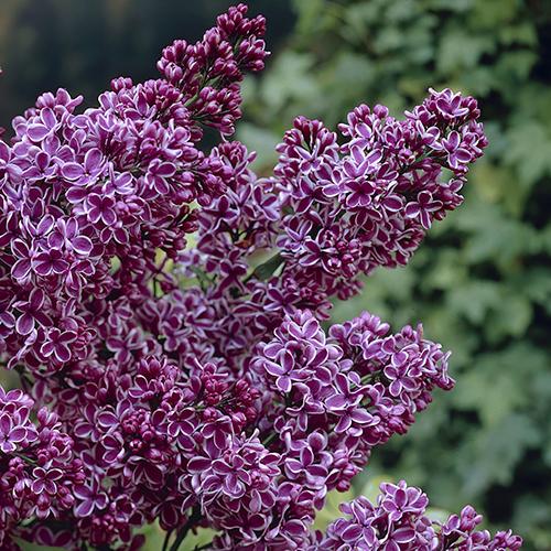 Сирень французская ароматная French lilac Ландшафтный дизайн кустарник