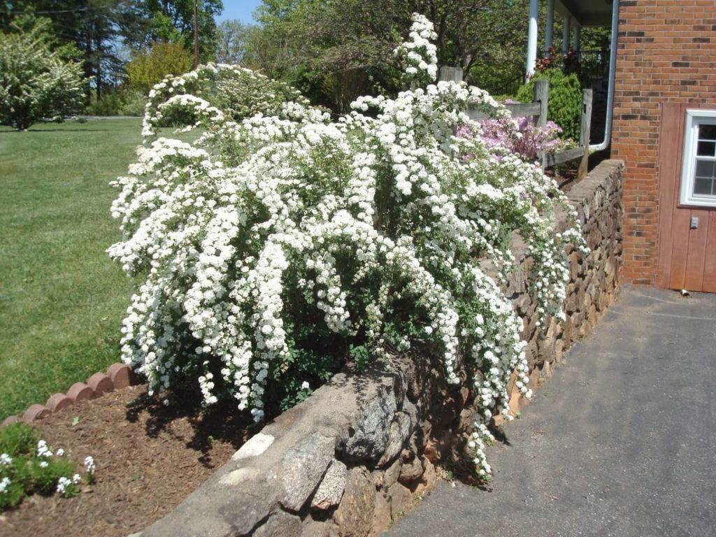 спирея Сад цветущая Кустарники