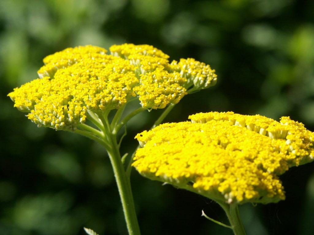 тысячелистник обыкновенный Многолетники средняя почва многолетние растения цветы сухая песчано-глинистая