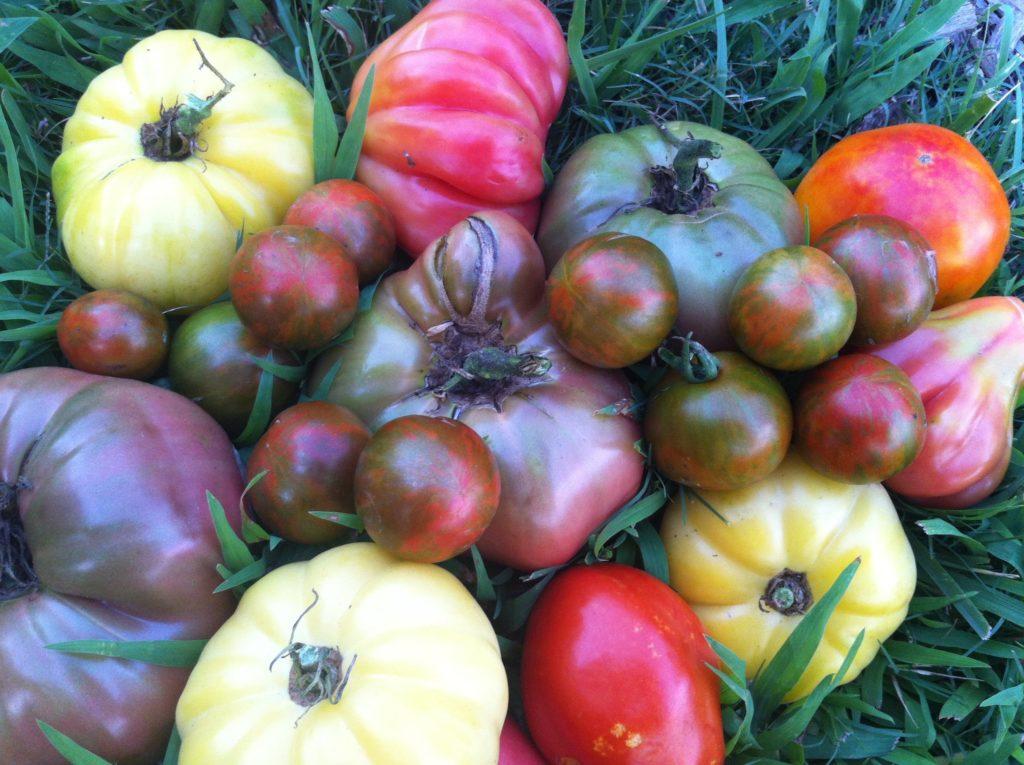 Здоровые растения в вашем саду томаты помидоры сорта