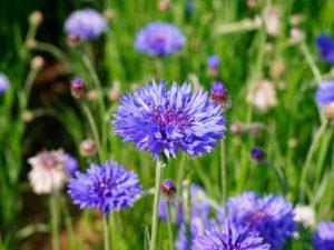 Василёк синий однолетники двулетники цветы однолетние двулетние растения сад синий