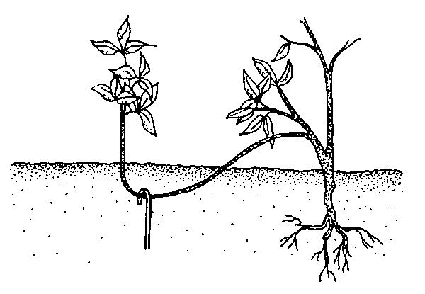 Вегетативное размножение и пересадка отводки кустарник