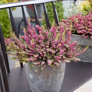 Вереск Сад цветущие ароматные Кустарники