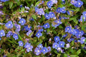 Вероника Многолетники средняя почва многолетние растения цветы разноцветные