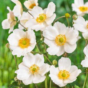 Ветреница хубэйская Многолетники средняя почва многолетние растения цветы влажная песчано-глинистая Анемона хупейская
