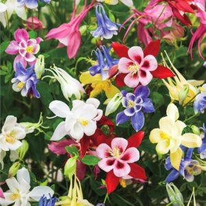 Водосбор Многолетники средняя почва многолетние растения цветы разноцветные Орлики Аквилегия